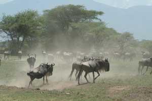 Wilderbeast on the run Mara